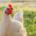 Sector avicola